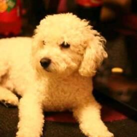 Bichon frise mixed yorkshire terrier