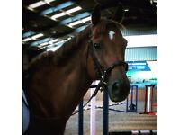 16.2 Thouroughbred Gelding for share, Dalkeith £15 PW