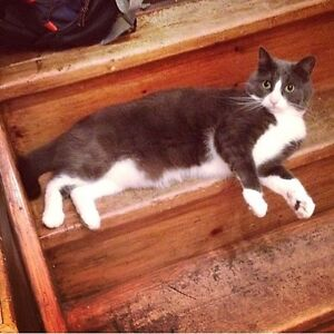 Grey and white cat lost on Kent avenue
