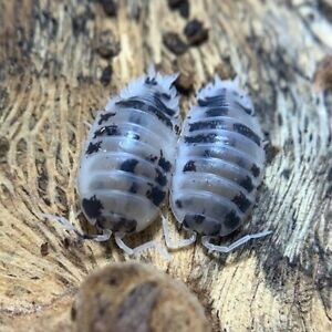 Springtails / isopods