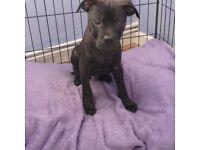 Rottweiler x staff puppy