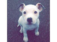 18weeks old white female puppy staff