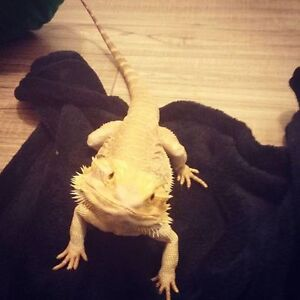 1 yr old bearded dragon and accessories London Ontario image 1