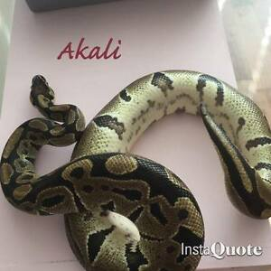Adult Female Ball Python Looking for Forever Home!