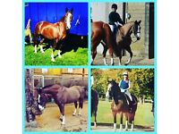 Horse sharer needed - gravesend / meopham
