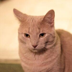LOST CAT IN EGLINTON AND BIRCHMOUNT AREA