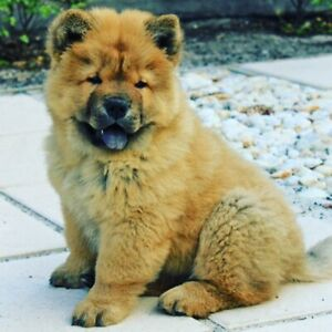 Chow Chow Puppy | Kijiji in Ontario  - Buy, Sell & Save with