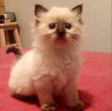 Purebred Ragdoll kittens! Joondalup Joondalup Area Preview