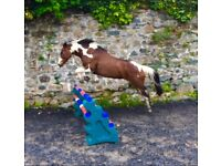 5* Home Wanted for Jumping Mare!