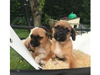 Beautiful Jug Pug X Jack Russell Puppies Now Available