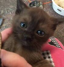 GORGEOUS PUREBRED BURMESE KITTENS Cessnock Cessnock Area Preview