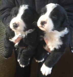 Bernese Mountain Dog X Puppies