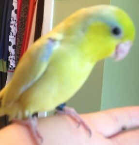 HAND FED BABY AMERICAN YELLOW PARROTLET