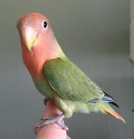 Red Head Opaline Lovebird