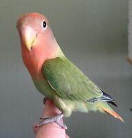 Red Head Opaline Lovebird