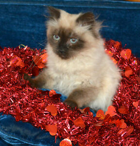 Happy Valentines Day- Beautiful Rag Doll Himalyan kittens