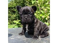 2 lovely frenchbulldogs puppies . Male brindle. Ready to go .