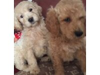 READY NOW Excuisite red and white Goldendoodle Puppies