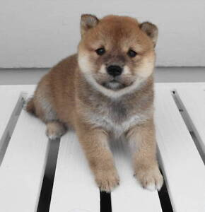 CKC registered shiba inu pups(2 male pups still available) Regina Regina Area image 8