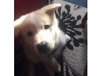 white mix Akita & malamute puppy