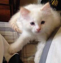Purebred Ragdoll Kitten Male Red point Ringwood Maroondah Area Preview