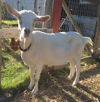 Goats for Sale - 2 Toggenburg/Saanen Does