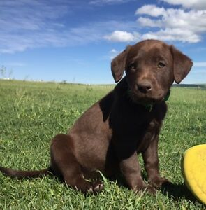 CKC registered Chocolate $1250 and Black Lab puppies $1000