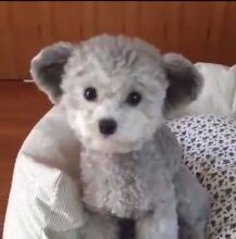 Wanted Toy Poodle Puppy Wannanup Mandurah Area Preview