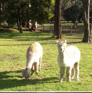 2 x alpacas Stoneville Mundaring Area Preview