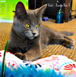 Meet VIOLET...Russian Blue Mix Kitten...Adorable,Adoptable London Ontario image 2