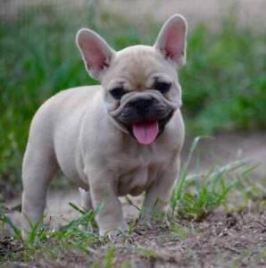 Beautiful French Bulldog Puppies Fawn and Cream