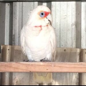 Beautiful Tame long billed Corella The Oaks Wollondilly Area Preview