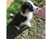 2 Collie dogs for sale age 2 years