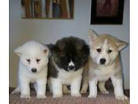 Gorgeous Akita pups for sale