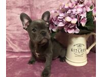 Ready to go now, stunning French bulldog puppies