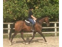 TB gelding for share