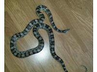Anery corn snake with full 3ft vivarium