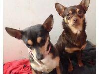Chihuahua girls