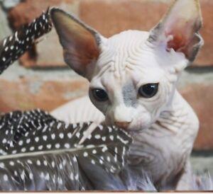 Quality sphynx kittens