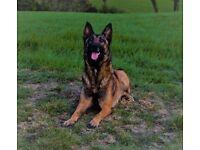 Kc registered Belgian malinois female (shepherd)