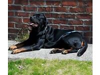 rottweiler dog 4 years old