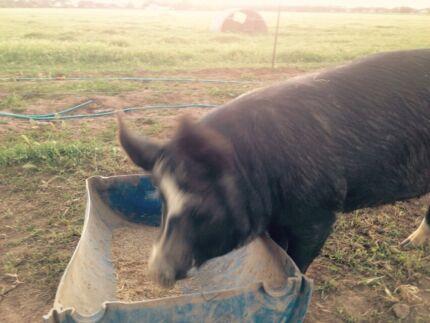 Pure bred Berkshire sow Mallala Mallala Area Preview