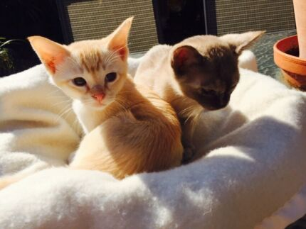 Burmese kitten Bellevue Heights Mitcham Area Preview