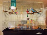 Beautiful baby Budgies for sale