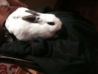 Male rabbit for sale, North west London