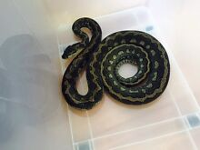 3 Year old Super stripped coastal python Brighton East Bayside Area Preview