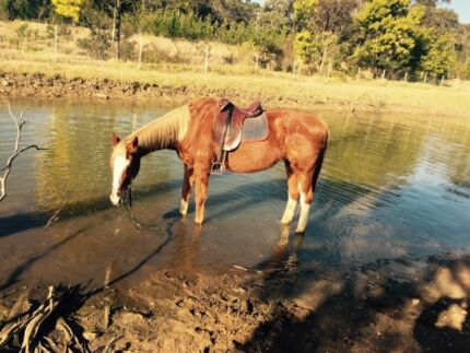 Bombproof beginners horse about 17h Padstow Heights Bankstown Area Preview