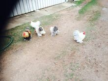 Pekin Bantams Roosters Texas Inverell Area Preview