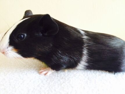 Guinea pig baby female North Manly Manly Area Preview