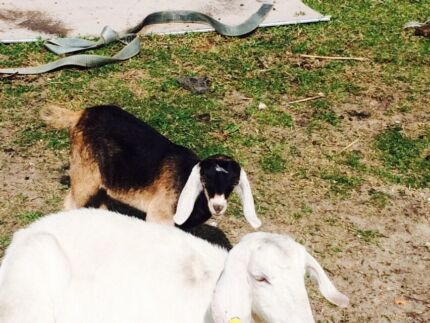 Baby female goats  West Swan Swan Area Preview